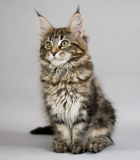 maine_coon_kitten_picture